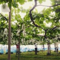 永井ぶどう園の仕事イメージ